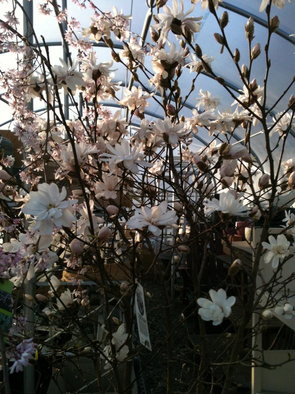 Magnolias 3-2012